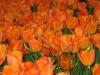 Orange_tulips