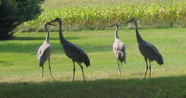 Sandhill_cranes